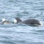Dolphins Dorset Lyme Regis
