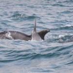 Dorset Dolphins chasing Mackerel Devon