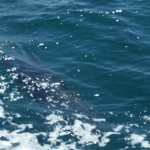 Charmouth Dolphins